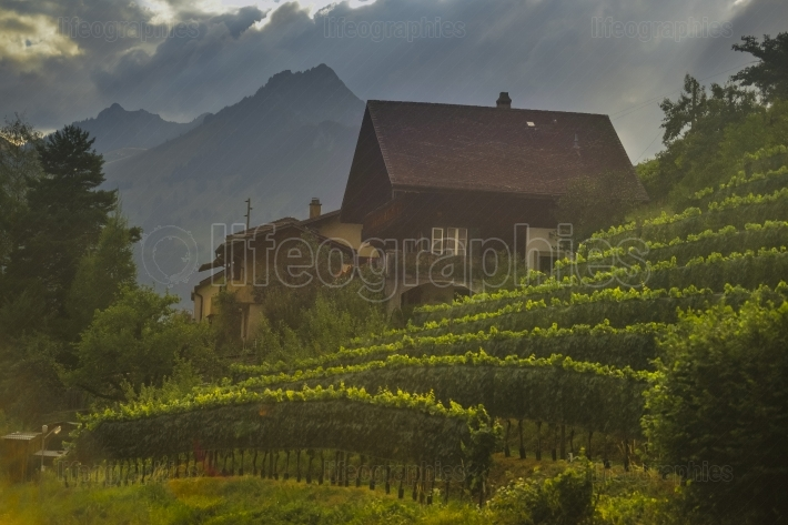 Vineyard at sunset near spiez castle