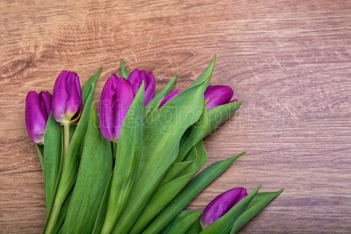 Violet tulips on a wooden background
