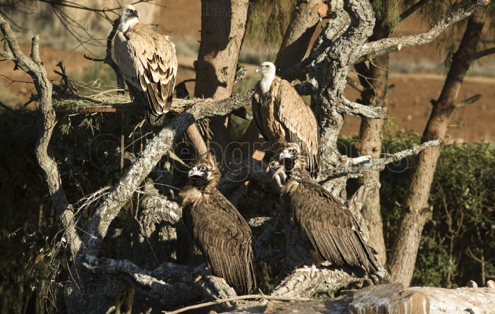 Vultures group