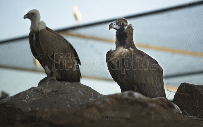 Vultures in captivity