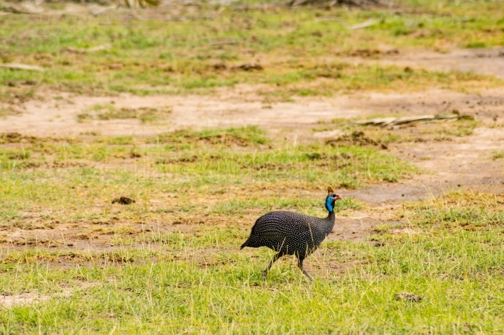 Vulturine guinea fowl in the countryside of Amboseli Park in Ken