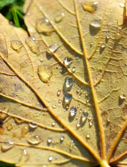 Water drops on brown leaf