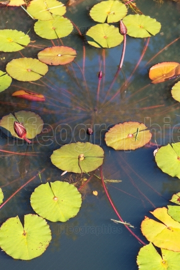 Water lillies extend upward in a north georgia pond