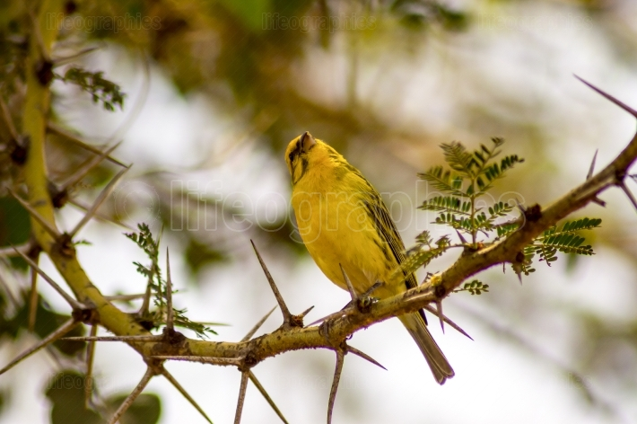 Weaver bird resting on a black acacia tree in Masai Mara Park in