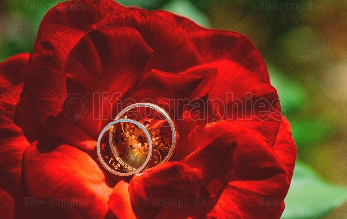 Wedding rings on red rose flower