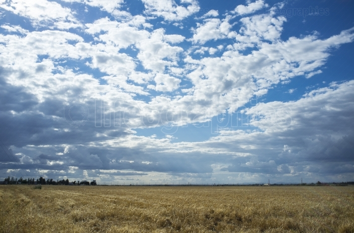 Wheat crops field with cloudy windy sky