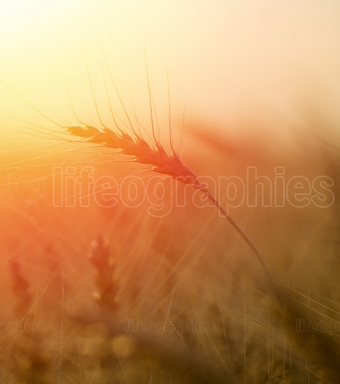 Wheat field  Ears of golden wheat close up  Beautiful Nature Sunset Landscape  Rural Scenery under Shining Sunlight