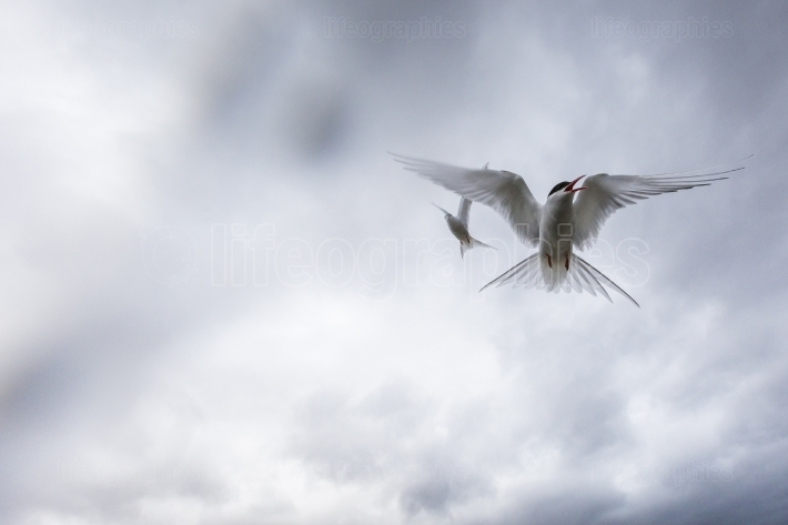 Whilst their mates incubate their eggs, these arctic terns head