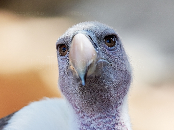 White backed Vulture (Gyps africanus)   portrait