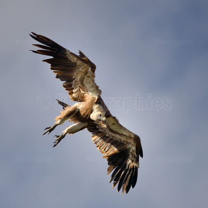 White backed vulture (gyps africanus) in flight