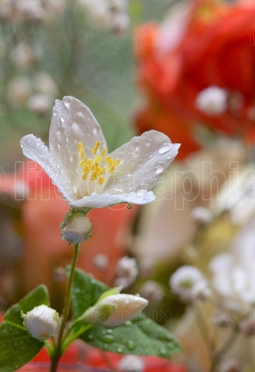 White jasmine flower and drops