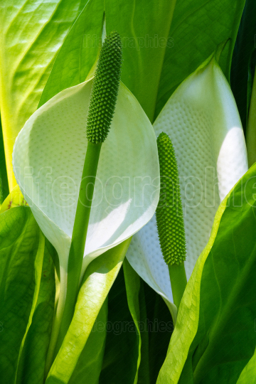 White skunk cabbage, Lysichitum camtschatcense