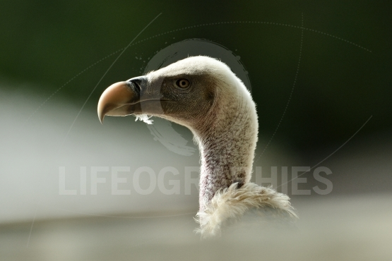 White-backed Vulture (Gyps africanus) - portrait