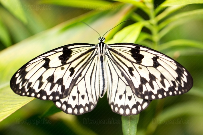 White/black butterfly on a leaf