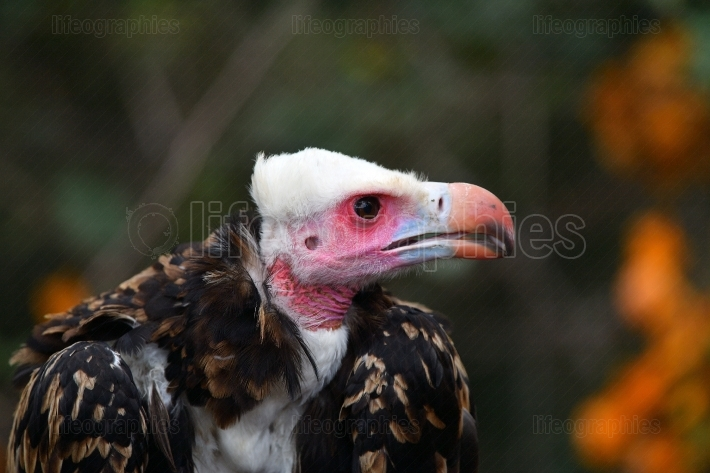 Whiteheaded vulture portrait (Trigonoceps occipitalis)