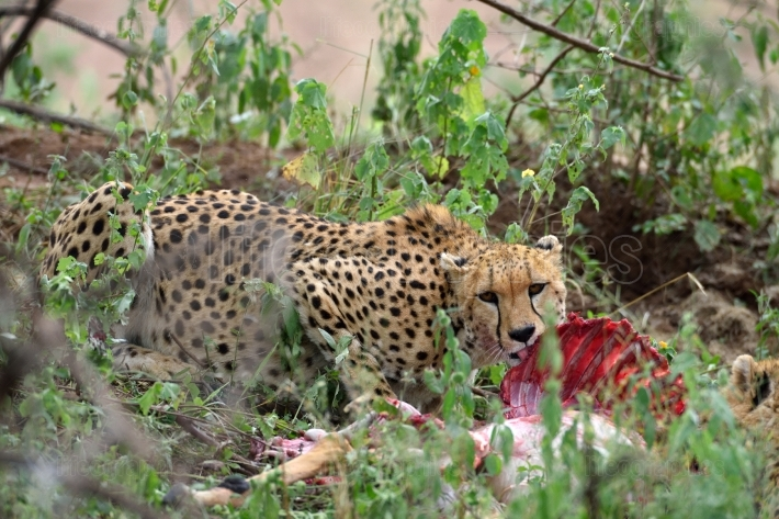 Wild african cheetah hiding in the bushes