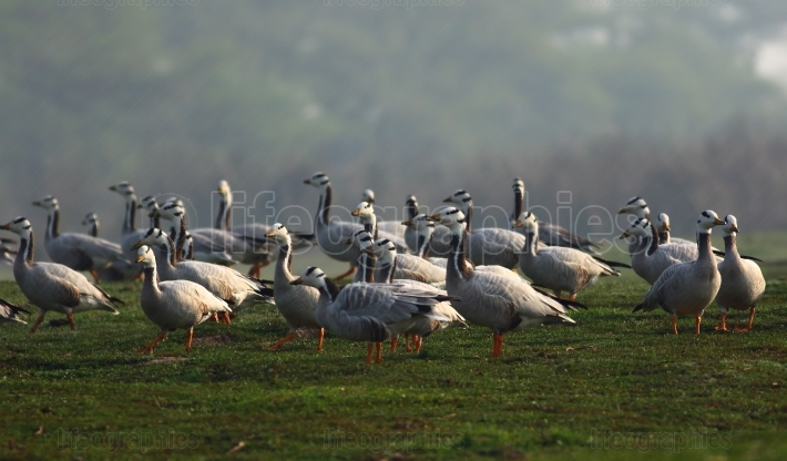 Wild Bar-headed Geese, Anser indicus