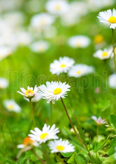Wild chamomile flowers on a field on a sunny day. shallow depth of field