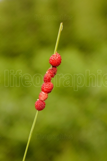Wild Strawberries (Fragaria vesca)