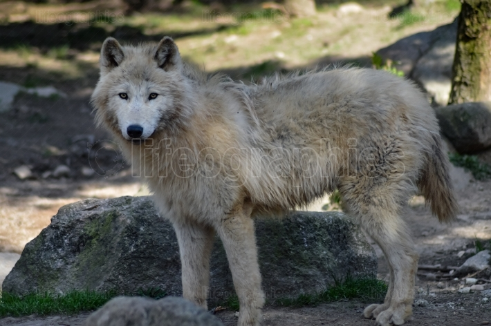 Wolf isoler in an animal park