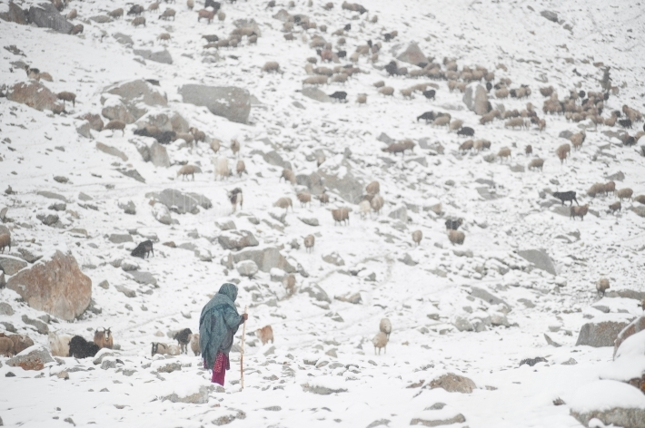 Woman in an area full of snow that takes care of the sheep who return from grazing
