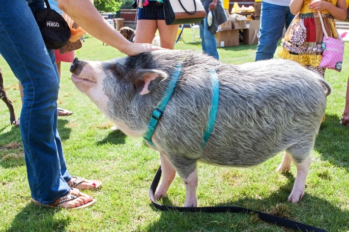 Woman Pets Friendly Pig On Leash At Festival