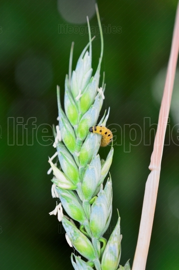 Yellow black caterpillar on a wheat ears