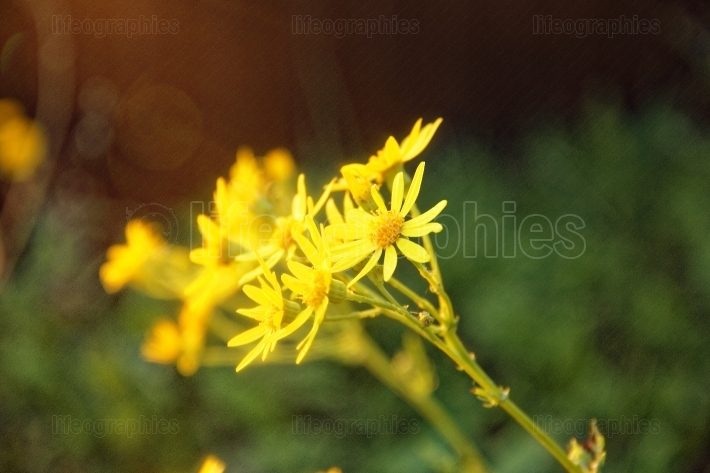Yellow daisies in the evening in autumn