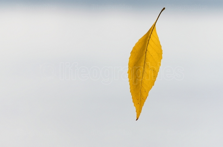 Yellow falling leaf close-up