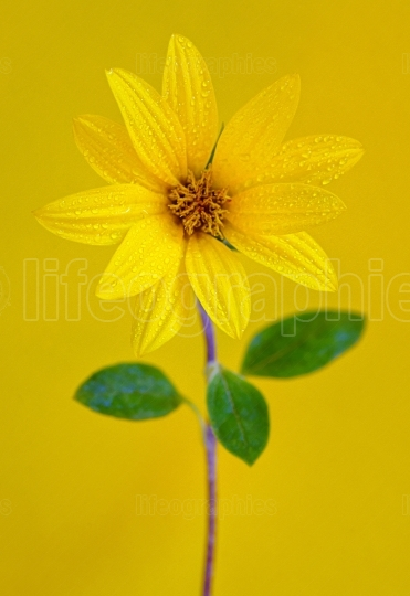 Yellow flower isolated on yellow background