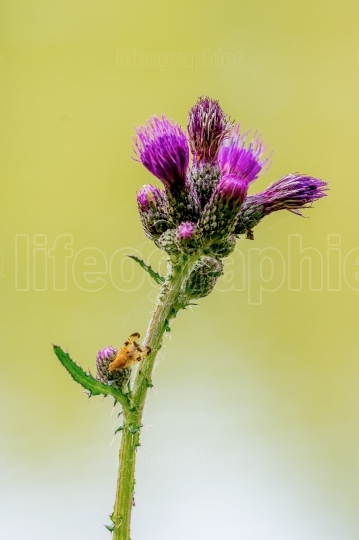 Yellow fly sitting on a flower thistle