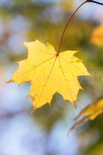 Yellow leaf close-up