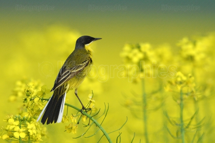 Yellow wagtail (Motacilla flava) in  rapeseed field in spring