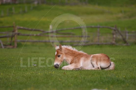 Young cute foal resting outdoor