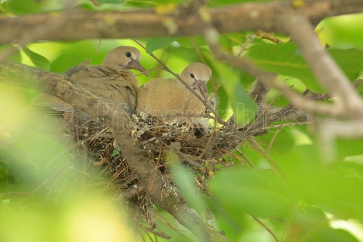 Young dove Streptopelia decaocto