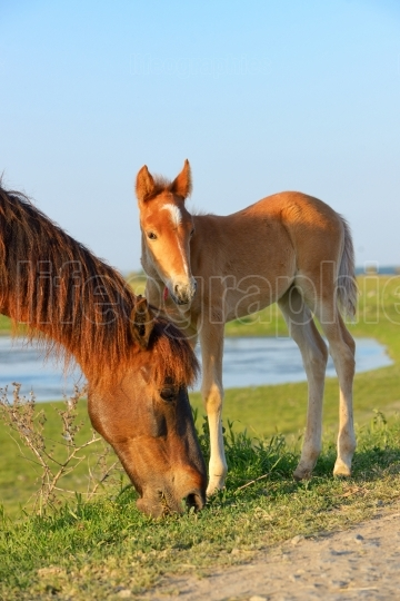 Young foal with his mother in a field
