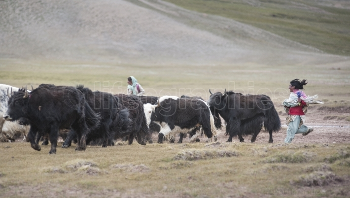 Young girl go to pasture with yaks