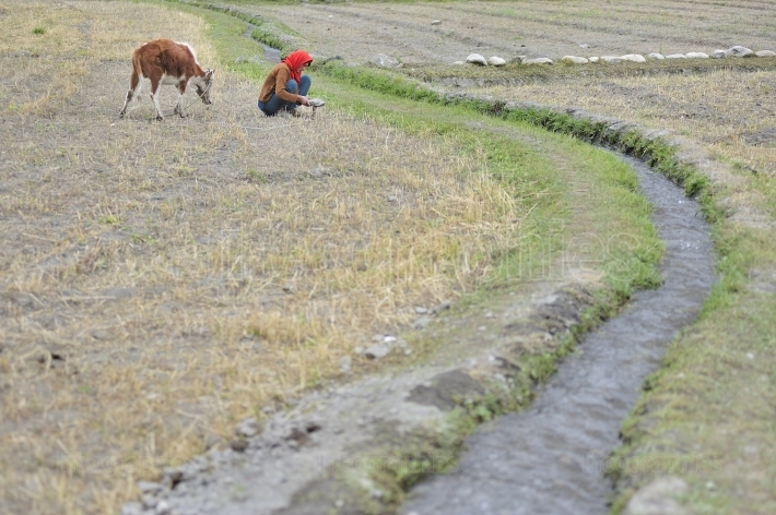 Young girl harvesting wheat on Shimshal village