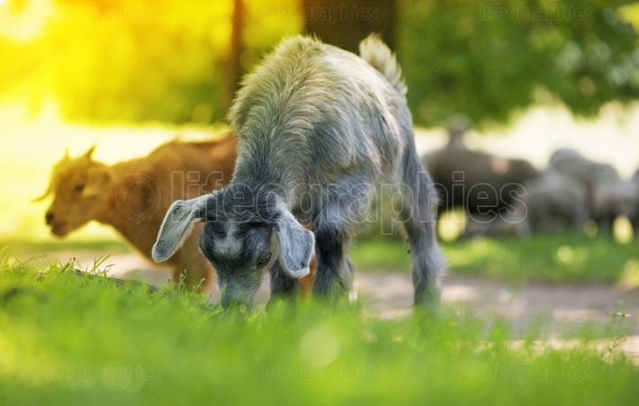 Young goat eating grass