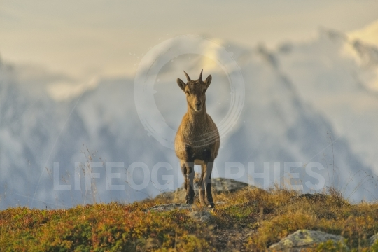 Young Ibex from French Alps