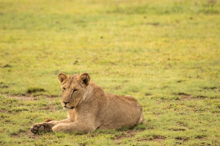 Young lion hidden in the scrub of Amboseli Park in North West Ke