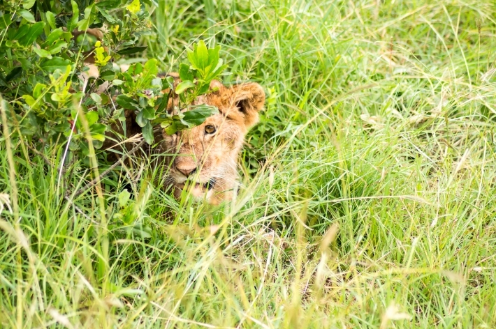Young lion hidden in the scrub of Maasai Mara Park in North West