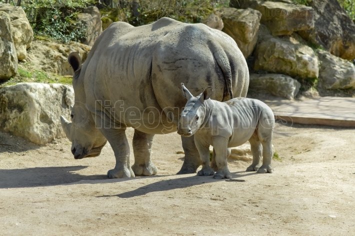 Young rhinoceros and mum on a rock