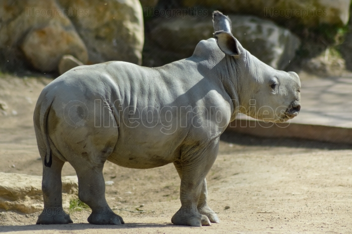 Young rhinoceros on a rock background