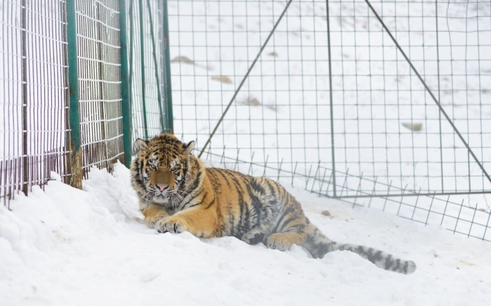 Young Siberian tiger  at zoo bad conditions. Winter time