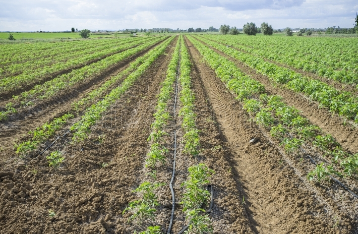 Young tomato plants planted in two lines each furrow