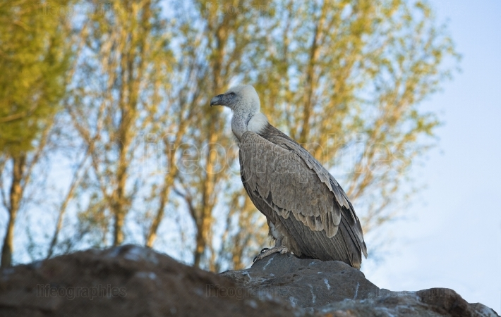 Young vulture
