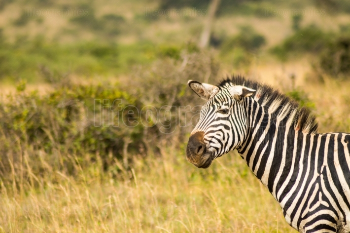 Zebra with ears down and a funny mimicry in the parkland of Nair